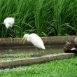 田んぼの鳥達(オシロトウネン他)
