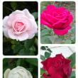 名残の薔薇…中之島ばら園