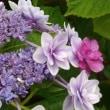 今日はアジサイに紫陽花な・・・アジサイ満載!