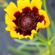 ハルシャギクの花5.23