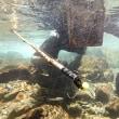 鮎のしゃくり漁 四万十川支流中津川