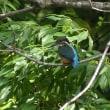 カワセミ 幼鳥、成鳥