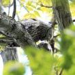 今日の鳥 エゾフクロウ 雛の木登り、雛えの食事 親の餌渡し 残念乍ら間に合わず。