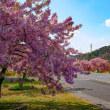 河津桜ロード【香川県東かがわ市】