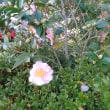 太陽と山茶花