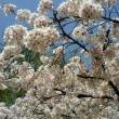 桜o(*>▽<*)o