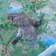畑、ブルーベリーの網に鳥が・・・