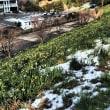 越前 水仙とカニと大雪と(2)