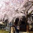 しだれ桜満開★