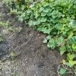 芋を掘りました。