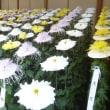 菊の力 ② 新宿御苑菊花壇展