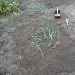 畑、ニンニクの定植