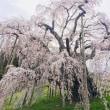 桜をみたくて。