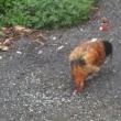 集会所近くに地鶏、捨てられたか!?