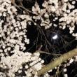 大光寺ライトアップ 2018.3.24