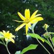 季節の花「菊芋(きくいも)」