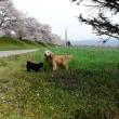 桜咲く春の安曇野散歩