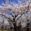 2018年仙南地域の桜まつり情報!