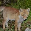 可愛い子狐
