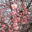 紅梅も咲き始めています。