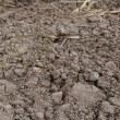 デュラム小麦の生育状況