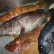 S丸の網にアオリの親イカがかかった、..沖磯ではT氏が60cmの石鯛をあげた