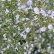 ミントの花、 県立三木山森林公園