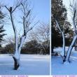 雪を纏う木