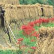 彼岸花と農村風景2
