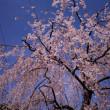桜 🌸咲くなか~伯父逝く