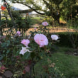 公園の秋薔薇・台風後始末