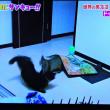 2/22 年上の猫が来ると、ワっとカーペットから飛び出す