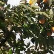 今年の我が家の柿は?