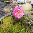 一月遅れで春の訪れ!・・・梅の開花