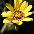 つわぶき(石蕗 )の花