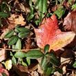 アメリカ楓の落ち葉