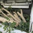 大木になった玄関先の金木犀を伐採する!!