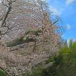 4月12日  山桜舞う