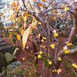 『春の便り』 ロウバイ