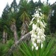 <センジュラン(千寿蘭)> 直立した茎に白い釣鐘形の花