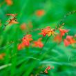 モントブレチア  姫檜扇水仙