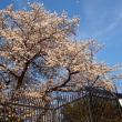 桜の記憶として