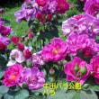 牛田のバラ公園に行ってきました。