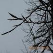 フウの木にも新芽が