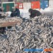 テルペニア湾のコマイ操業が1、000トンを超える