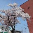桜 咲いたっ!