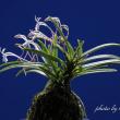 富貴蘭「東天紅」の花