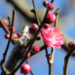 寒さに映える梅の花
