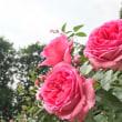 野津田公園のバラが見ごろを迎えています