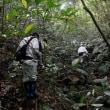 奄美大島では稀、少ない:タイワンルリミノキ
